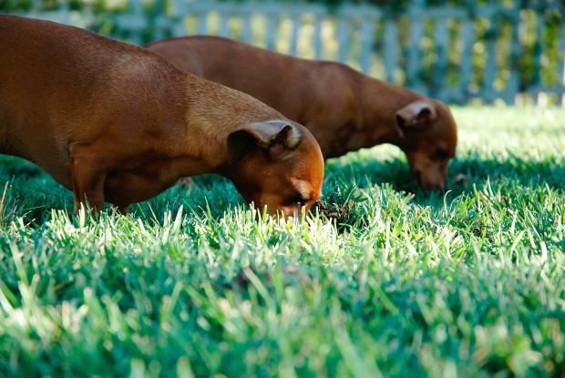 犬が草を食べるところ