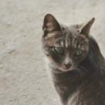 gray-cat