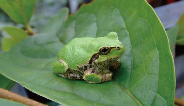 大きな葉の上に座るカエル