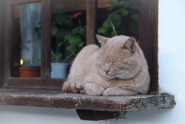 ベージュの猫