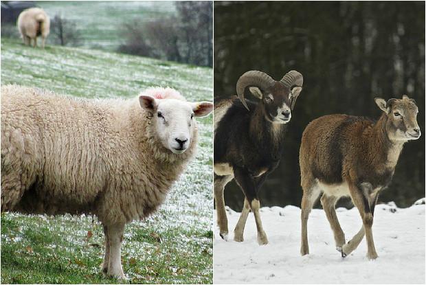 羊とムフロン