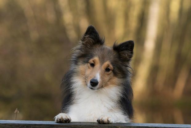 犬のシェルティーことシェットランドシープドッグ