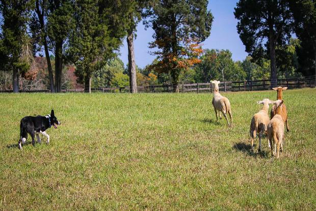 牧羊犬のボーダーコリー