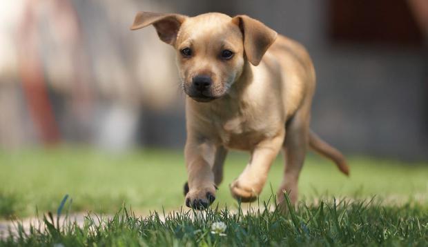 ドッグランを走る子犬