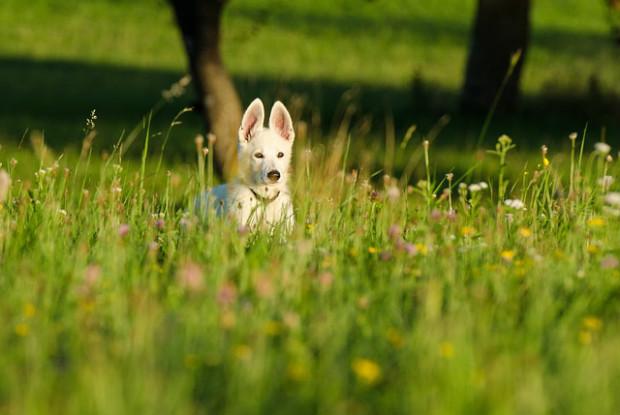 耳を立てる白い犬
