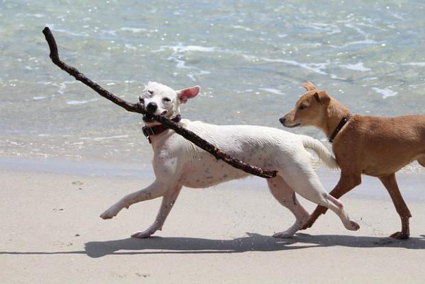 海辺を歩く犬たち
