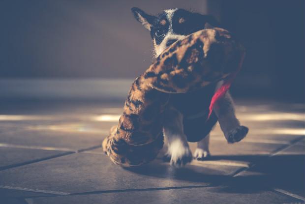 おもちゃをくわえて走る子犬