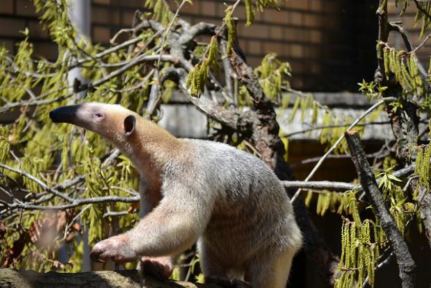 埼玉県こども動物自然公園のミナミコアリクイ