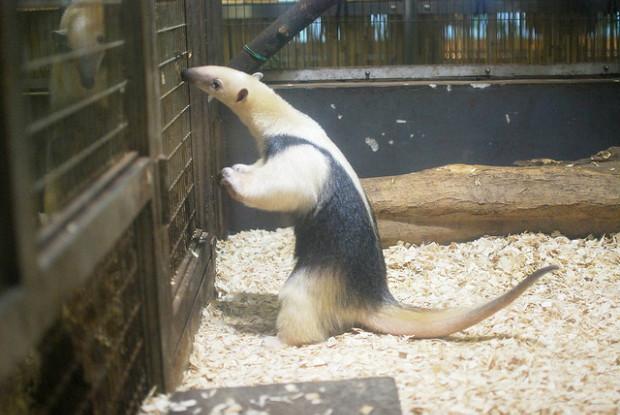 上野動物園のミナミコアリクイ