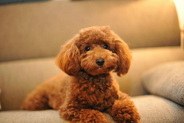 毛が抜けない犬のプードル