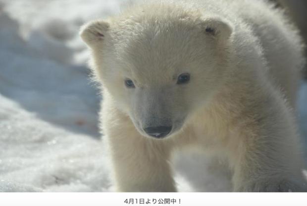円山動物園のシロクマの赤ちゃん