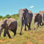 africanelephant2