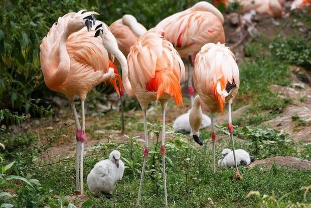 フラミンゴの赤ちゃんと親鳥たち