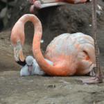 flamingo-hina
