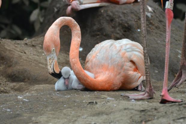 フラミンゴの赤ちゃんと親鳥