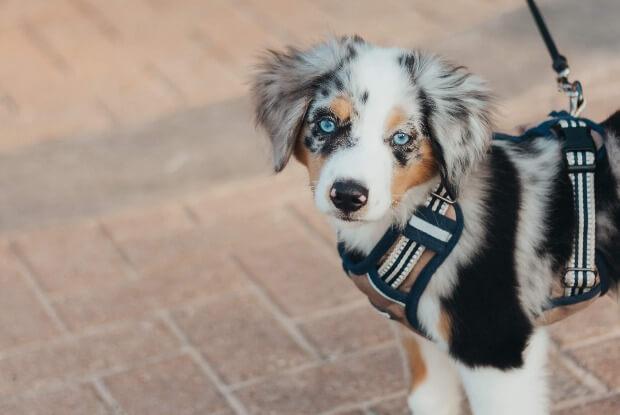 散歩するボーダーコリーの子犬