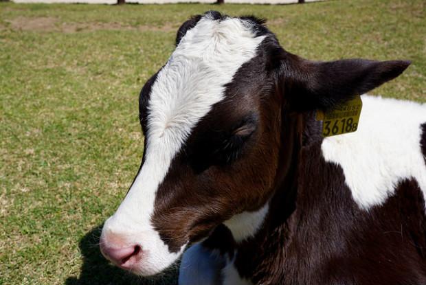マザー牧場の牛