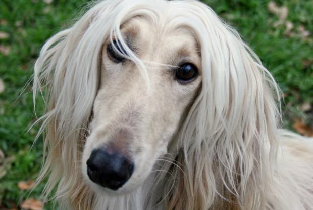 犬の白内障にかかりやすいアフガンハウンド