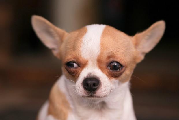 膝蓋骨脱臼にかかりやすい犬のチワワ