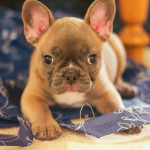 frenchbull