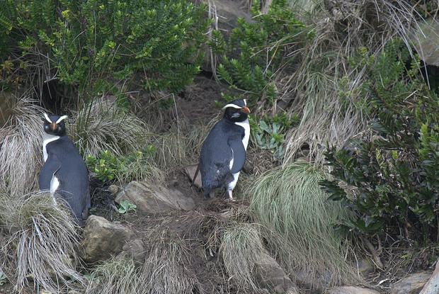 フィヨルドランドペンギン