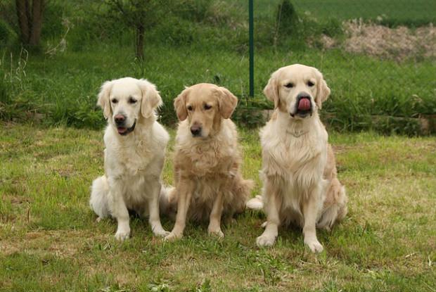 犬の外耳炎になりやすいレトリバー
