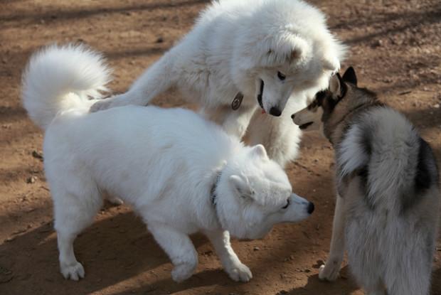 犬の熱中症にかかりやすい犬のサモエドとシベリアン・ハスキー