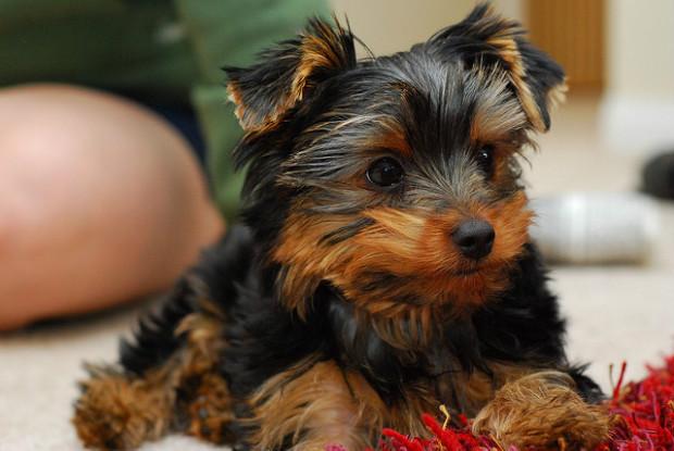 膝蓋骨脱臼にかかりやすい犬のヨークシャー・テリア