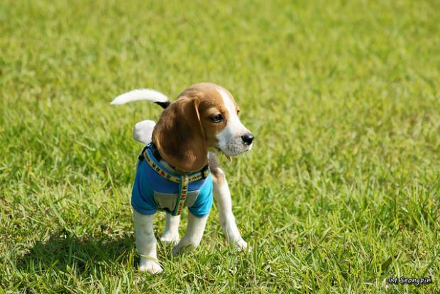 犬の緑内障にかかりやすいビーグル