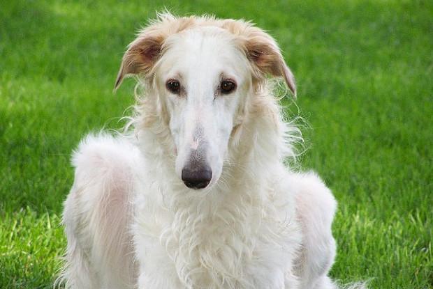 犬の胃捻転にかかりやすいボルゾイ