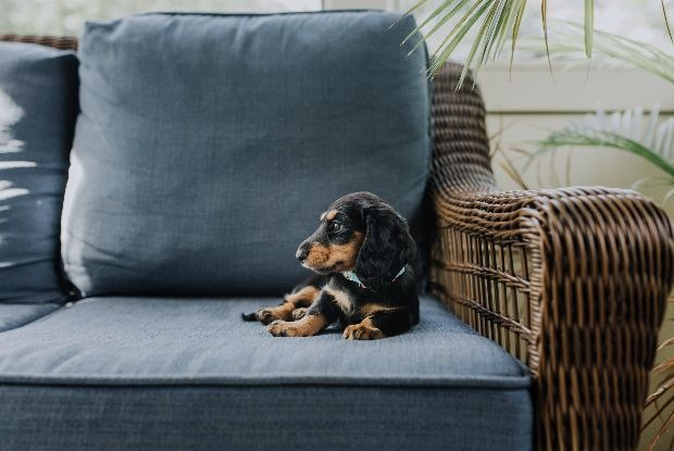 犬の椎間板ヘルニアにかかりやすいダックスフンド