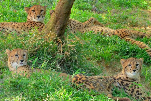 広島県の動物園の安佐動物公園のチーター
