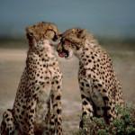 cheetahs-iwate