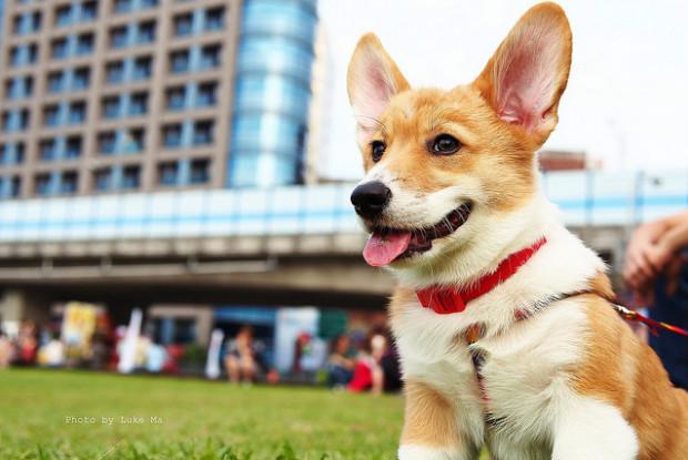 犬の椎間板ヘルニアにかかりやすいコーギー
