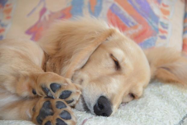 犬の胃捻転にかかりやすいダックスフンド