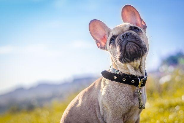 犬の椎間板ヘルニアにかかりやすいフレンチブルドッグ