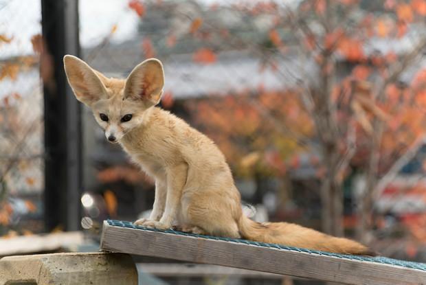 京都の動物園のフェネック