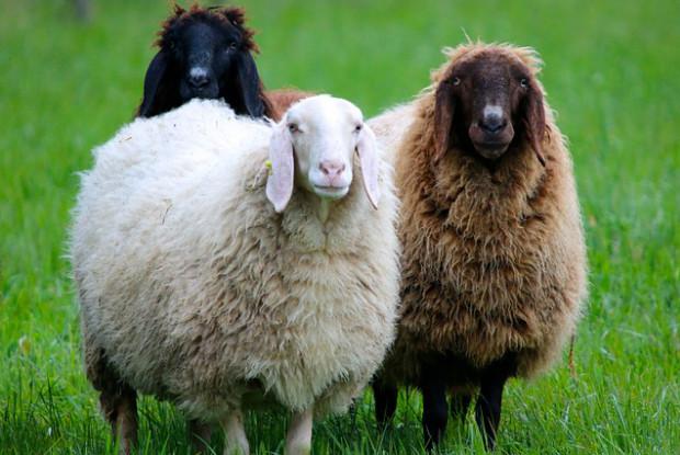 奈良県の動物園にいる羊