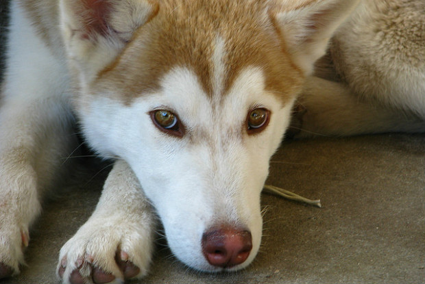 犬の緑内障にかかりやすいシベリアン・ハスキー