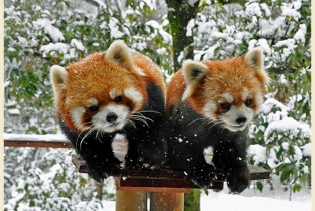 石川県の動物園のいしかわ動物園のレッサーパンダ