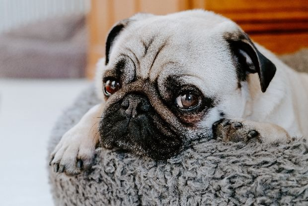 犬の椎間板ヘルニアにかかりやすいパグ