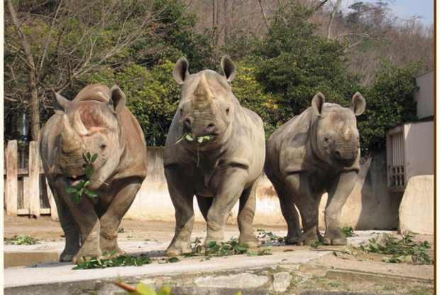 安佐動物公園のクロサイのハナちゃん/></p> <p>出典: <a href=