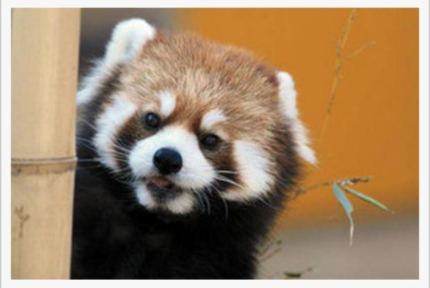 千葉市動物公園のレッサーパンダチィチィ