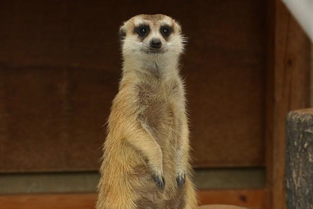 広島県の動物園の福山市立動物園のミーアキャット