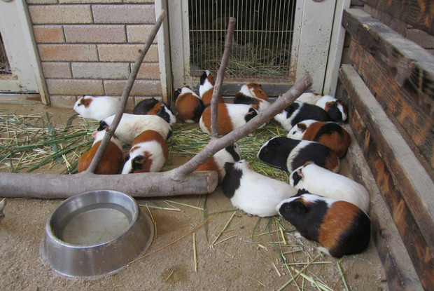 広島県の動物園の安佐動物公園のモルモット