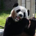panda-ad2