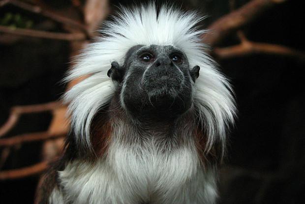 石川県の動物園のいしかわ動物園のワタボウシタマリン
