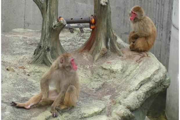 新潟県の動物園の悠久山公園にいるニホンザル