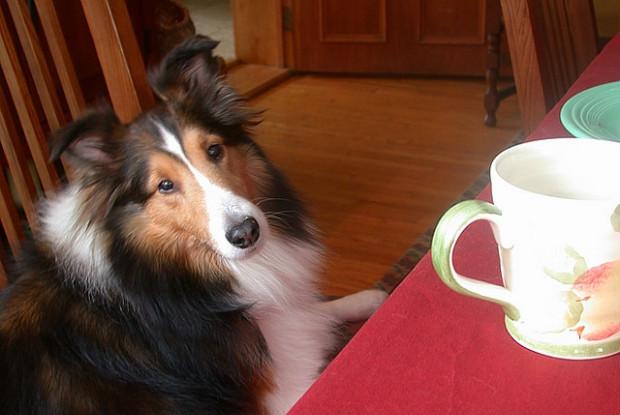 犬の胃捻転にかかりやすいシェットランド・シープドッグ