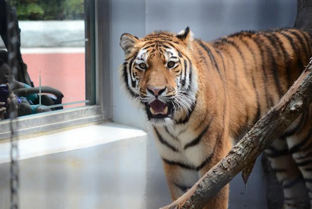 広島県の動物園の福山市立動物園のトラ